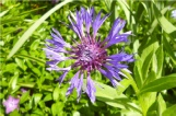 Blue Thistle Flower