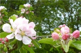 Apple Blossom Goddess