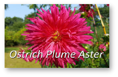 Ostrich Plume Aster