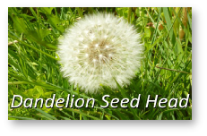 Dandeliuon seed head